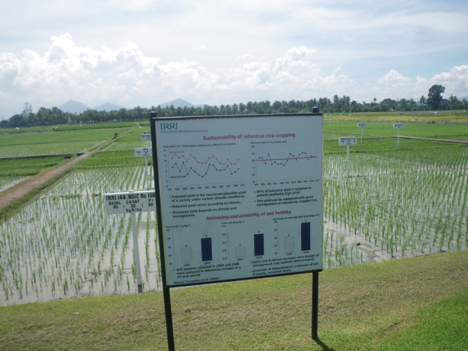 Continuous high yield paddy