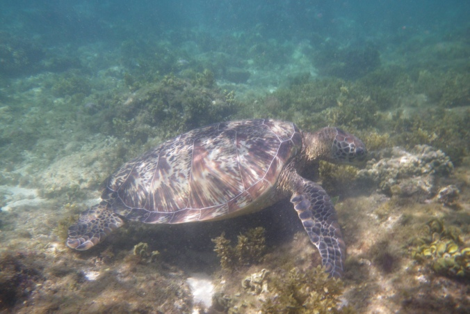 Turtle at Apo Island