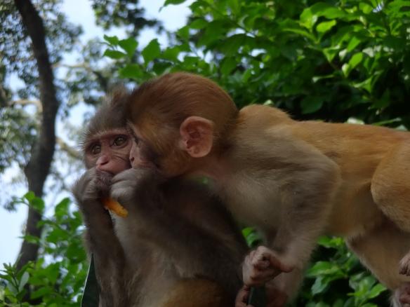 Swayambuneth Monkeys