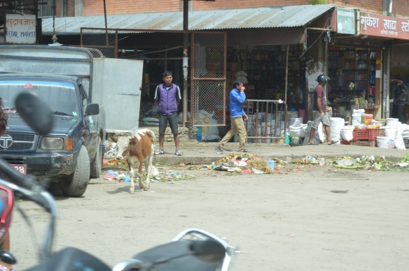 Kathmandu cows