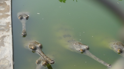 gharials at gharial breeding center in Chitwan