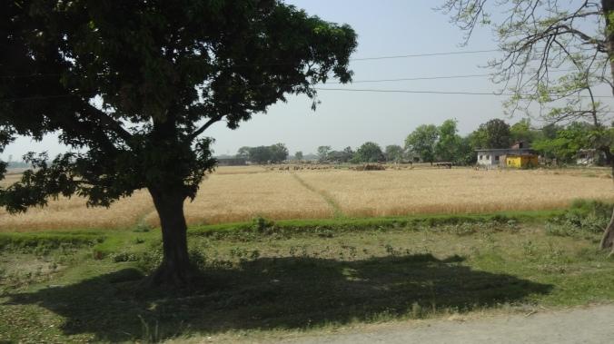 Terai wheat fields