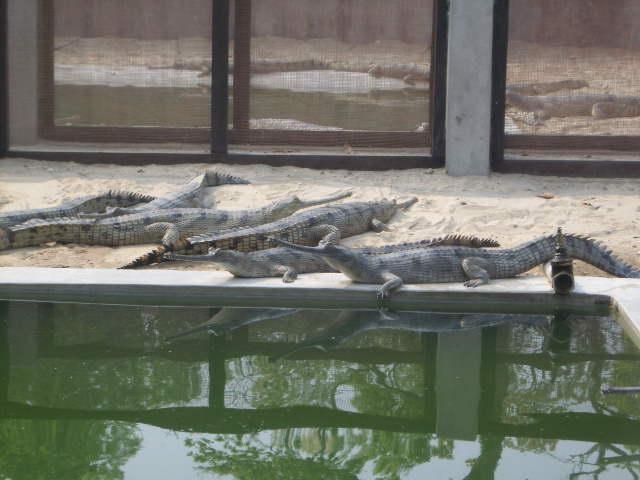 gharials