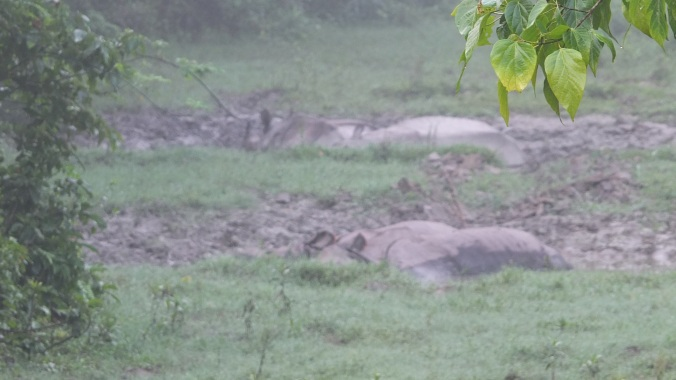 Chitwan rhinos in mud bath