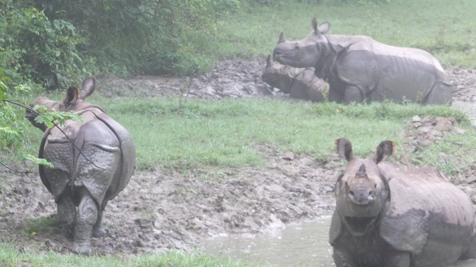 chitwan rhinos in a mud bath