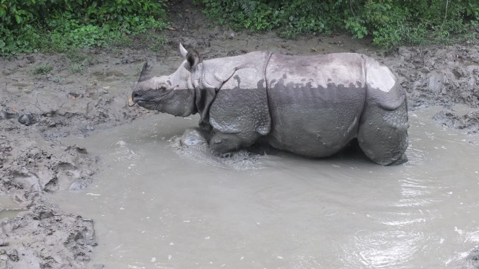 chitwan rhino is a mud bath