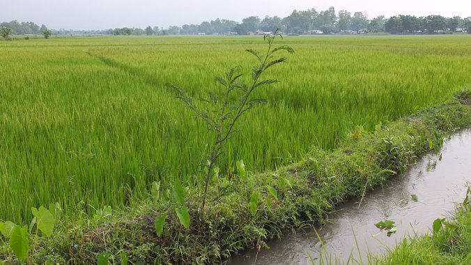 Rice paddy, Chitwan