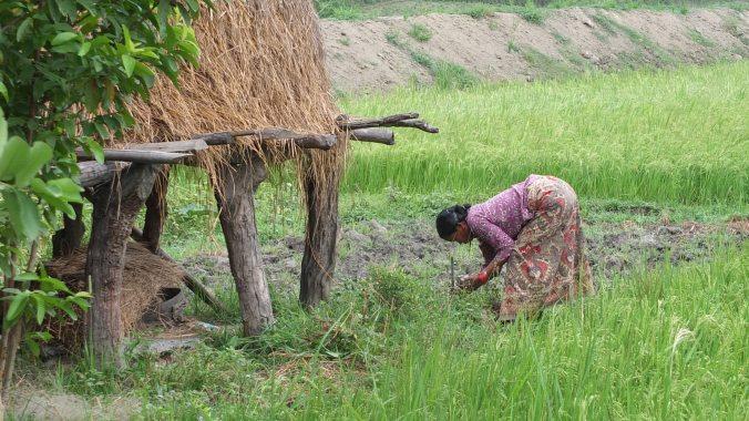 Rice paddy, Chitwan