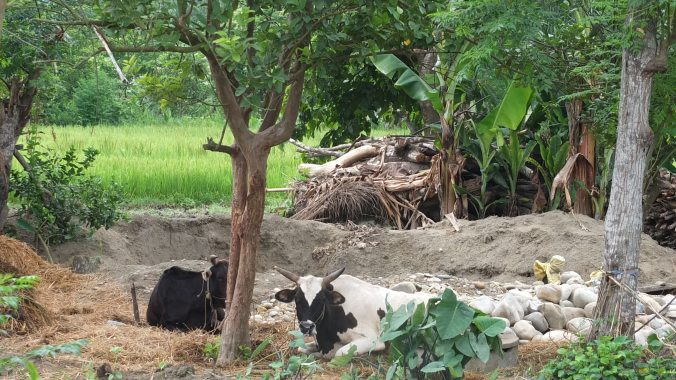Cows in Chitwan