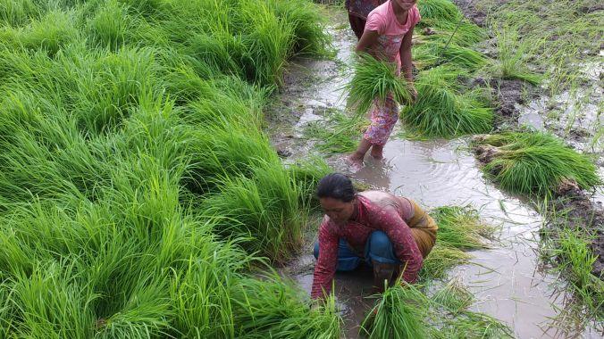 Its Rice Planting Season