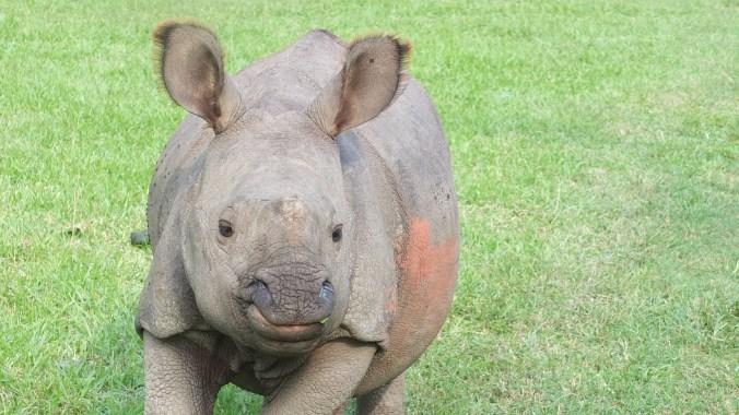baby rhino chitwan