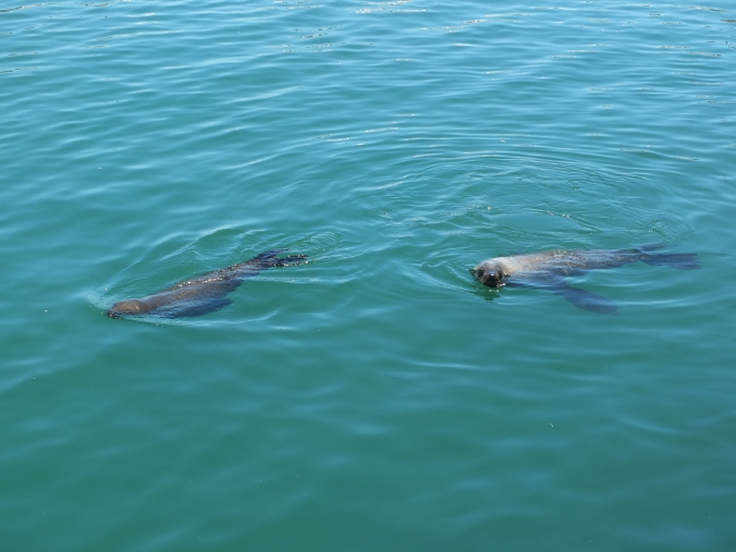 seals, hout bay, cape town, south africa