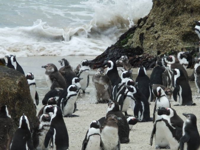 Moulting penguins, Boulders penguin colony