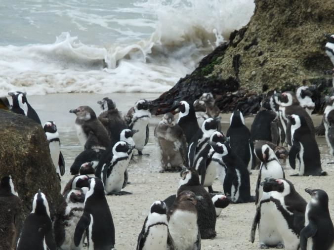 Moulting penguins, Boulders penguin colony