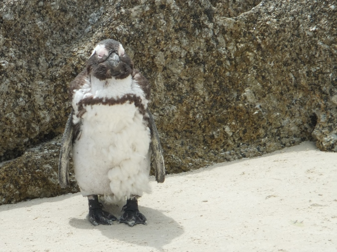 Moulting penguin