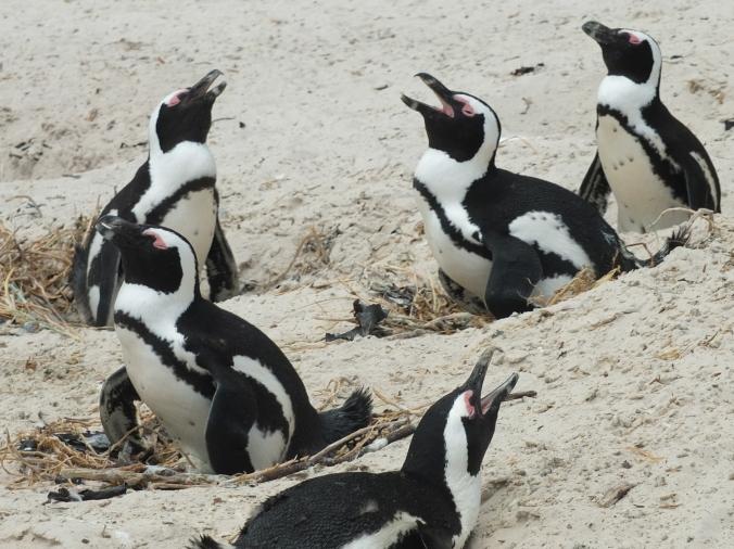nesting penguins