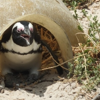 South Africa: Penguins!