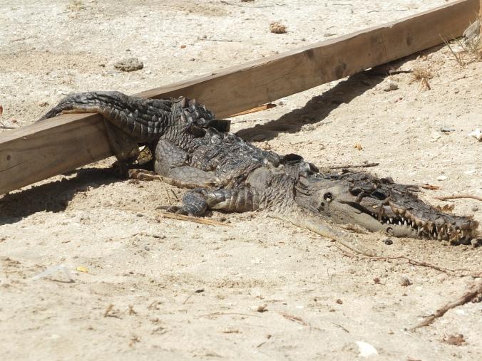 Dead alligator